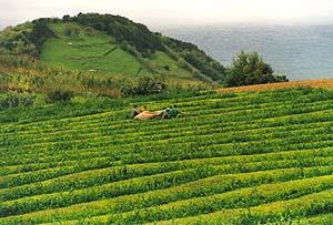Teeplantagen von Sao Bras