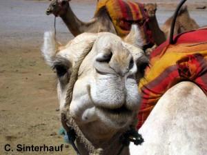 Bin ich nicht eine Schönheit von Kamel?
