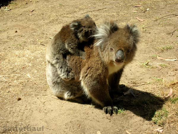 Koalamama auf unserem Campingplatz