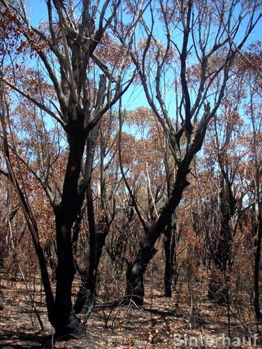 Tote Bäume nach einem Brand