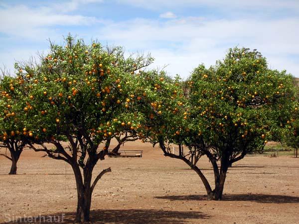 Orangenbäume in der australischen Wüste.