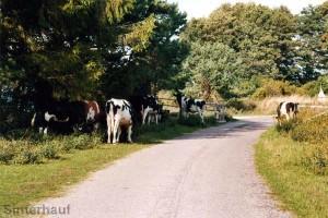 Kühe auf der Straße - auf Öland ganz normal