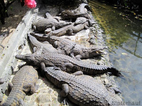 Zum Fürchten - madagassische Krokodile