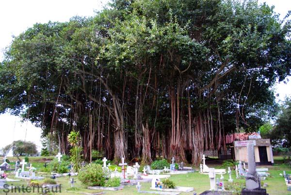 Banyanbaum mit gewaltigem Luftwurzelgeflecht
