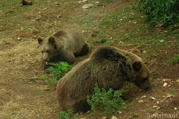 Braunbären im Bärenrefugium