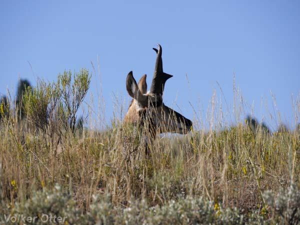 Pronghorn Antilope Lamar River Valley