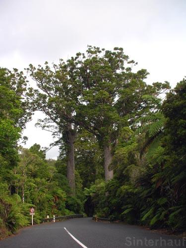 Kauribäume am Straßenrand