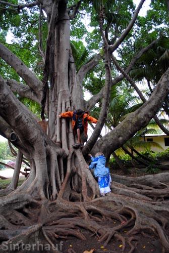 Klettern auf Tropenbäume
