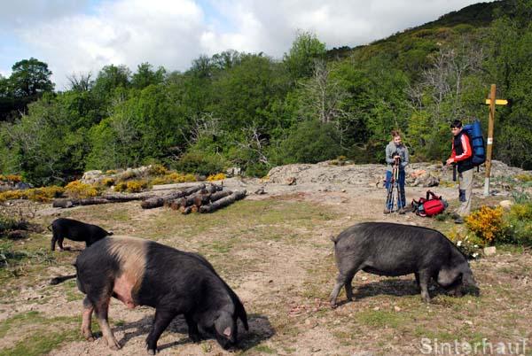 Wilde Hausschweine auf Wanderschaft