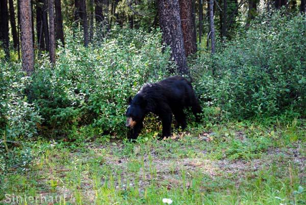 Ein Schwarzbär auf Futtersuche