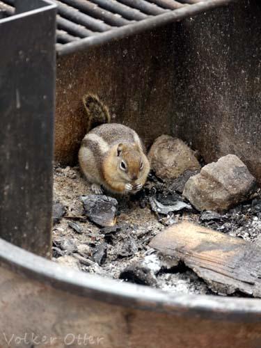 Streifenhörnchen, das nach Futter sucht