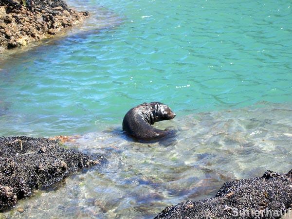 Robbenbaby in seinem natürlichen Lebensraum