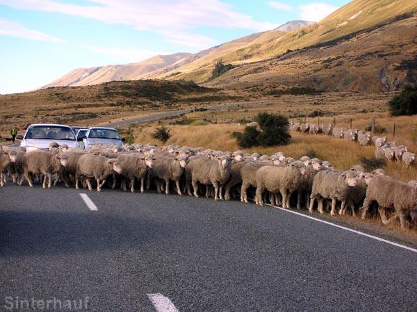 Schafherde an der Zufahrt zum Mount Cook NP